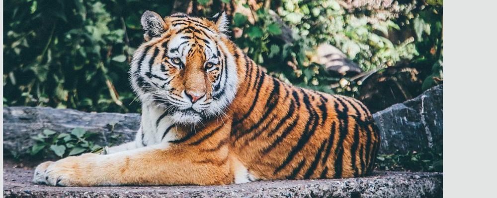 ISU Bengal Tiger